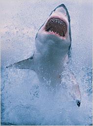 Shark at the Jersey Shore? Hardly!